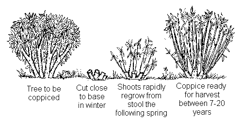 Diagram illustrating the coppicing cycle over a 7-20 year period