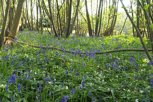 Coppicing is a highly effective method of producing a great deal of fast growing, sustainable timber without the need to replant.